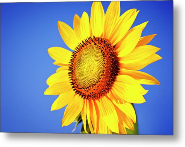 Sunflower Metal Print by Mbbirdy