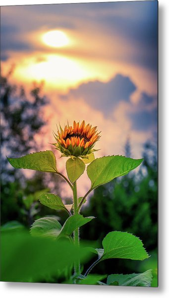 Sunflower Opening To The Light Metal Print