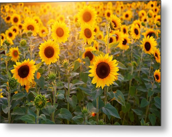 Sunflowers Field Metal Print