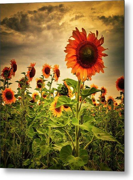 Sunflowers. Horytsya, 2014. Metal Print