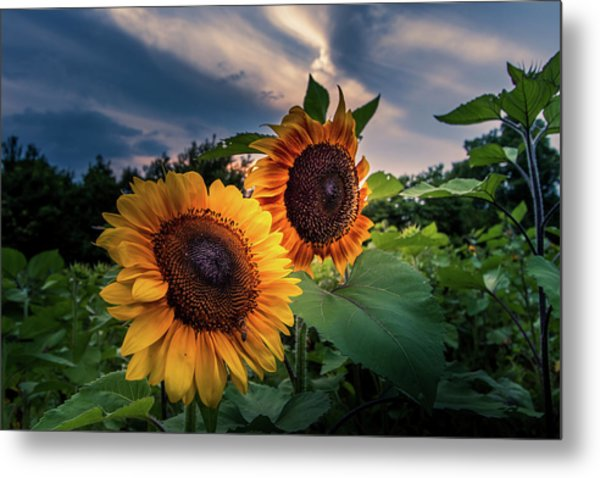 Sunflowers In Evening Metal Print