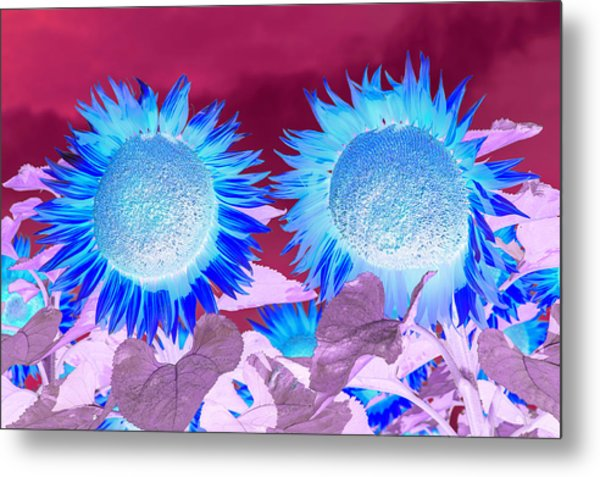 Sunflowers, Provence, France Metal Print