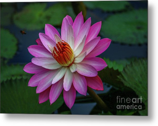 Metal Print featuring the photograph Sunlit Lily by Tom Claud