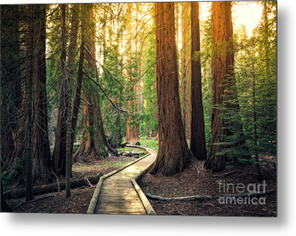 Sunset On The Forest Path, Sequoia Metal Print
