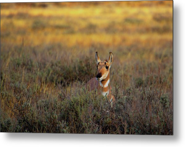 Metal Print featuring the photograph Sunset Pronghorn by Pete Federico