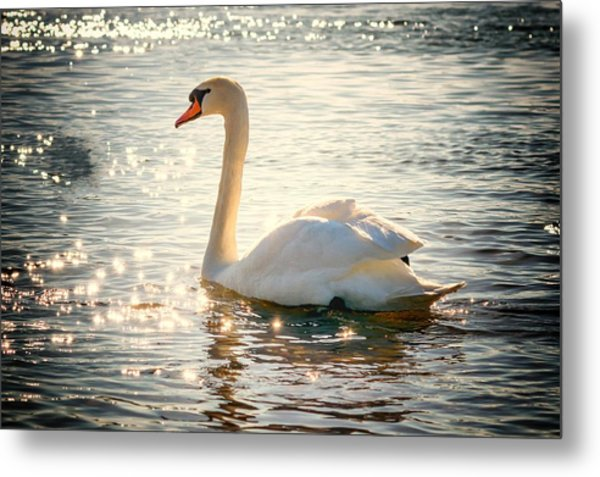Swan On Golden Waters Metal Print