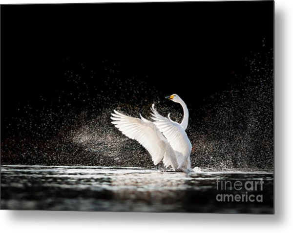 Swan Rising From Water And Splashing Metal Print