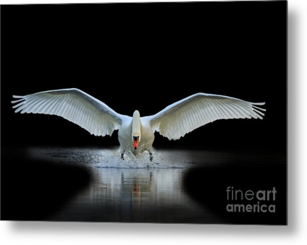 Swan With Open Wings, A Unique Moment Metal Print