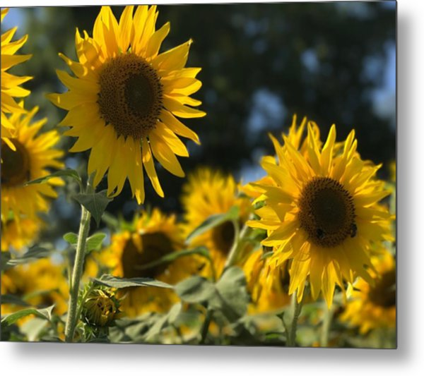 Sweet Sunflowers Metal Print