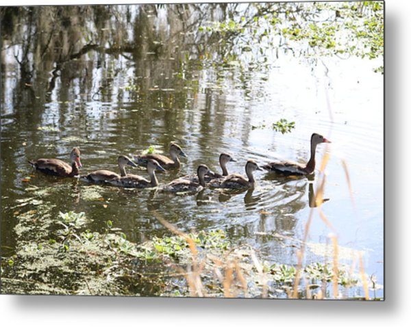 Swimming Black-bellied Whistling Duck Family Metal Print