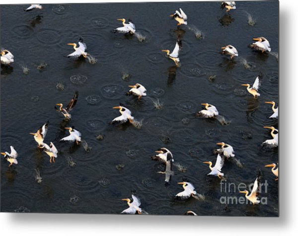 Synchronous Flight Of White Pelicans Metal Print