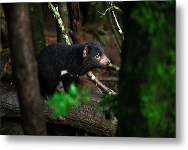 Metal Print featuring the photograph Tasmanian Devil Found During The Day In Tasmania. by Rob D