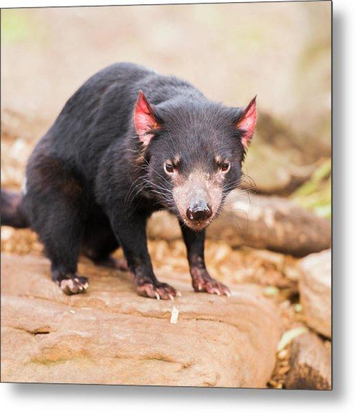 Tasmanian Devil In Hobart, Tasmania Metal Print