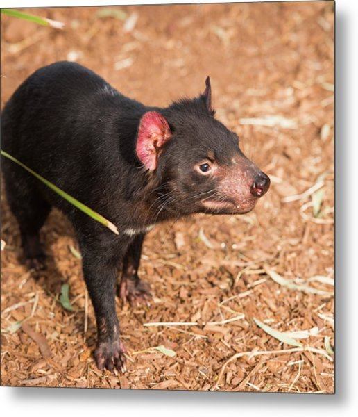 Metal Print featuring the photograph Tasmanian Devil In Hobart, Tasmania by Rob D
