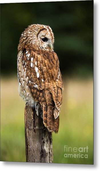 Tawny Owl On Fence Post Against A Dark Metal Print