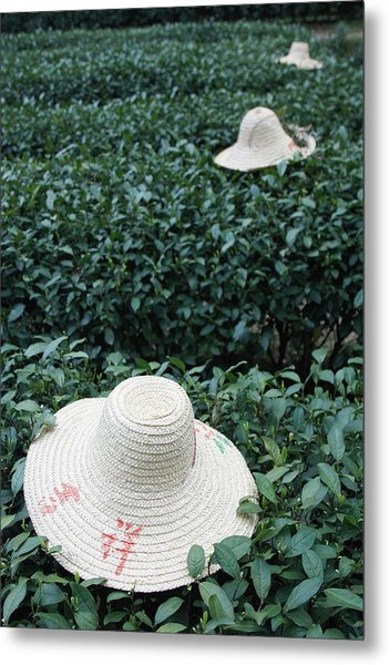 Tea Workers Hats Lying On Tea Bushes Metal Print