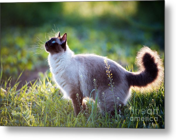 The Beautiful Brown Cat, Siamese, With Metal Print