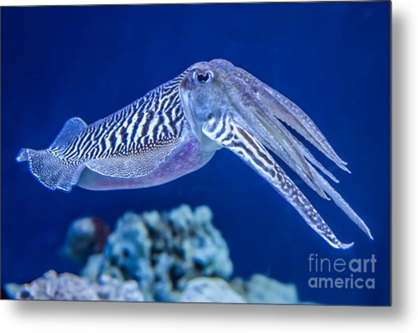 The Common European Cuttlefish Sepia Metal Print