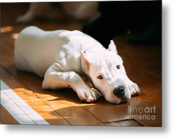 The Dogo Argentino Also Known As The Metal Print by Grisha Bruev