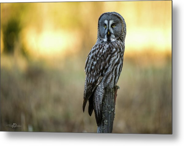 The Great Gray Owl In The Morning Metal Print