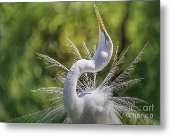 The Great White Egret Mating Dance Metal Print
