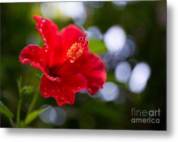 The Hibiscus Flower Close Up Metal Print by Chayatorn Laorattanavech