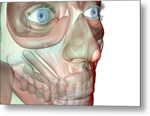 The Musculoskeleton Of The Face Metal Print by Medicalrf.com