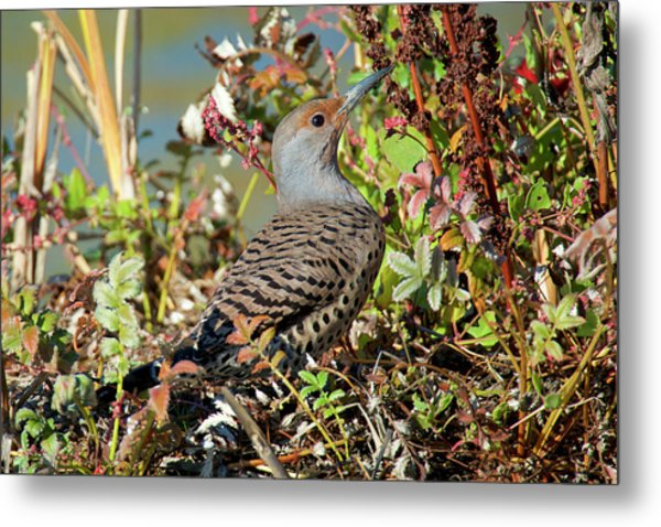The Northern Flicker Is A Medium-sized Metal Print