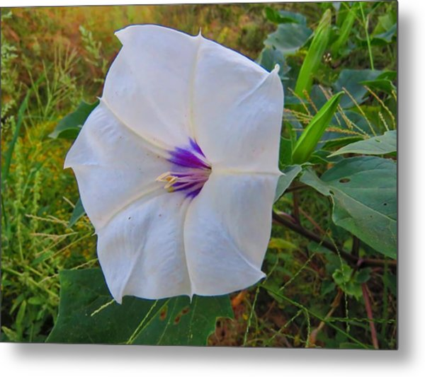 The Perfect Flower - Sacred Datura Metal Print