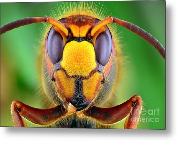 The Picture Shows Hornet Vespa Crabro Metal Print