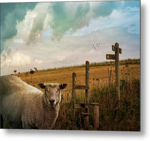 Metal Print featuring the photograph The Sheep Who Knows Where She's Going by Chris Lord