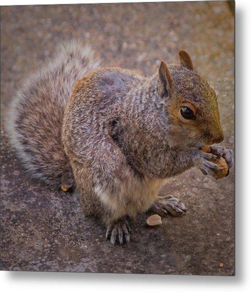 The Squirrel - Cornwall Metal Print