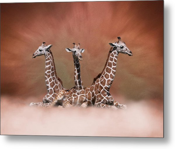 The Watchers - Three Giraffes Metal Print