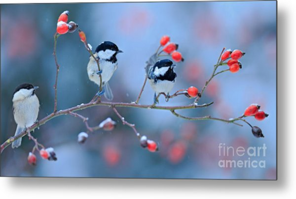 Three Songbirds, Great Tit And Coal Metal Print