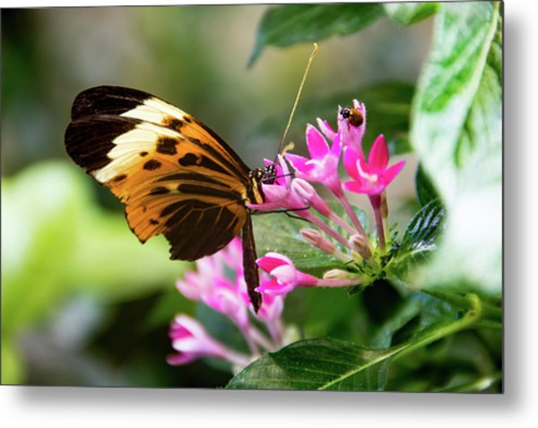 Tiger Longwing Butterfly Drinking Nectar  Metal Print
