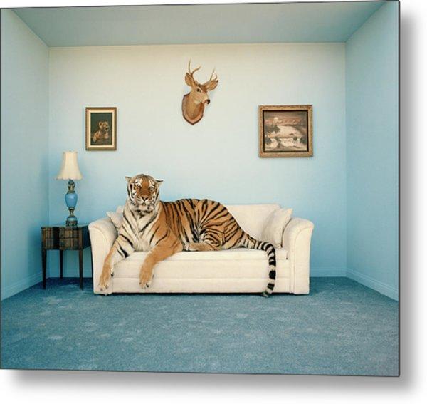 Tiger On Sofa Under Animal Trophy Metal Print