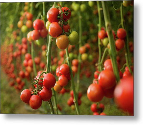 Tomatoes Growing In A Greenhouse Metal Print by Ozgurdonmaz