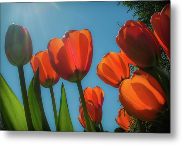 Towering Tulips Metal Print