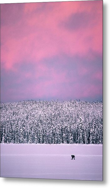 Trapper In Alaska, United States - Metal Print by Jean-erick Pasquier