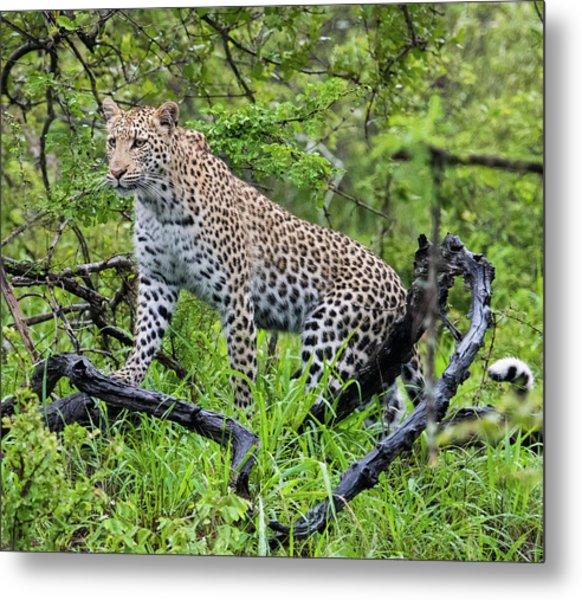 Tree Climbing Leopard Metal Print