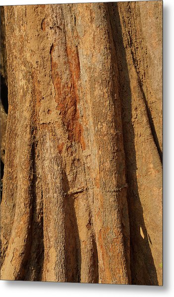 Tree Trunk And Bark Of Chambak Metal Print
