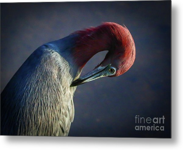 Metal Print featuring the photograph Tricolor Preening by Tom Claud