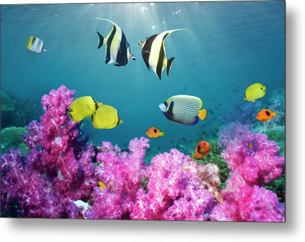 Tropical Reef Fish Over Soft Corals Metal Print by Georgette Douwma
