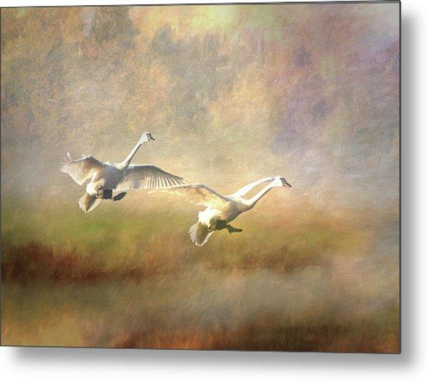 Trumpeter Swan Landing - Painterly Metal Print
