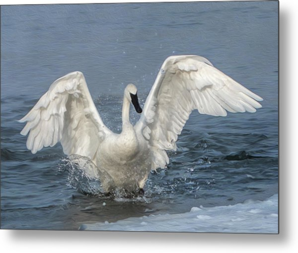 Metal Print featuring the photograph Trumpeter Swan Splash by Patti Deters