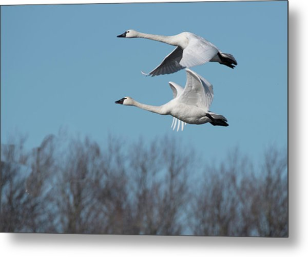 Metal Print featuring the photograph Tundra Swan Duo by Donald Brown