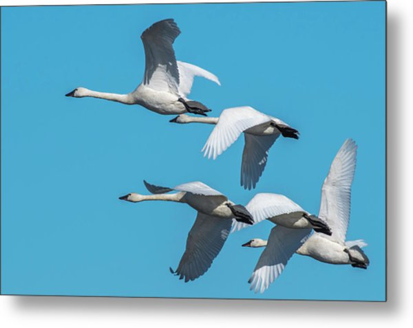 Metal Print featuring the photograph Tundra Swans In Flight by Donald Brown