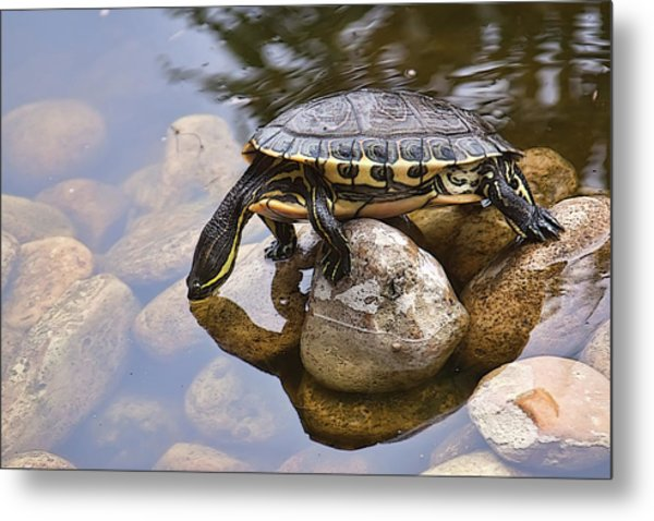 Turtle Drinking Water Metal Print