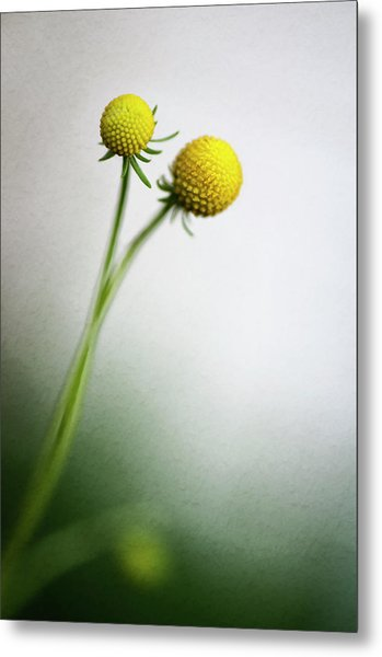 Two Billy Buttons Craspedia Flowers Metal Print