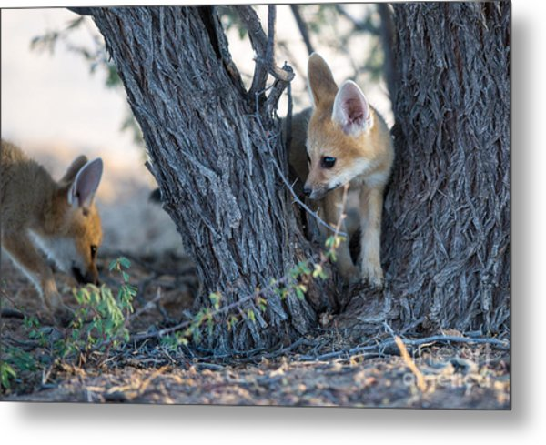 Two Cute Baby Cape Foxes Exploring Metal Print